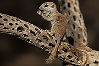 /images/133/2017-05-22-tucson-creatures-1x2_4762.jpg - #13848: Round Tailed Ground Squirrels … May 2017 -- Tucson, Arizona