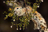 /images/133/2017-05-22-tucson-creatures-1x2_4833.jpg - #13852: Round Tailed Ground Squirrels … May 2017 -- Tucson, Arizona