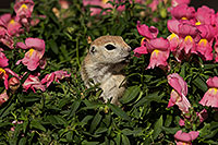 /images/133/2017-05-22-tucson-creatures-1x2_4850.jpg - #13853: Round Tailed Ground Squirrels … May 2017 -- Tucson, Arizona