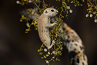 /images/133/2017-05-22-tucson-creatures-1x2_4937.jpg - #13855: Round Tailed Ground Squirrels … May 2017 -- Tucson, Arizona