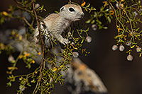 /images/133/2017-05-22-tucson-creatures-1x2_4952.jpg - #13856: Round Tailed Ground Squirrels … May 2017 -- Tucson, Arizona