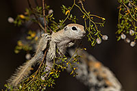 /images/133/2017-05-22-tucson-creatures-1x2_4983.jpg - #13858: Round Tailed Ground Squirrels … May 2017 -- Tucson, Arizona