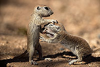 /images/133/2017-05-22-tucson-creatures-1x2_5011.jpg - #13859: Round Tailed Ground Squirrels … May 2017 -- Tucson, Arizona