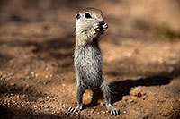 /images/133/2017-05-22-tucson-creatures-1x2_5020.jpg - #13860: Round Tailed Ground Squirrels … May 2017 -- Tucson, Arizona