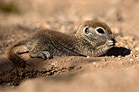 /images/133/2017-05-22-tucson-creatures-1x2_5038.jpg - #13861: Round Tailed Ground Squirrels … May 2017 -- Tucson, Arizona