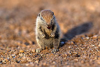 /images/133/2017-05-22-tucson-creatures-1x2_5217.jpg - #13862: Round Tailed Ground Squirrels … May 2017 -- Tucson, Arizona