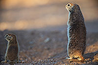 /images/133/2017-05-23-tucson-creatures-1-2-1x2_5420.jpg - #13863: Round Tailed Ground Squirrels … May 2017 -- Tucson, Arizona