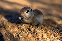 /images/133/2017-05-23-tucson-creatures-1x_47392.jpg - #13864: Round Tailed Ground Squirrel standing … May 2017 -- Tucson, Arizona