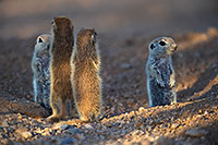 /images/133/2017-05-23-tucson-creatures-7-8-1x2_5416.jpg - #13867: Round Tailed Ground Squirrels … May 2017 -- Tucson, Arizona