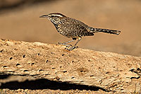 /images/133/2017-05-23-tucson-wren-1x2_5260.jpg - #13868: Cactus Wren … May 2017 -- Tucson, Arizona