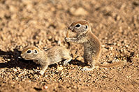 /images/133/2017-05-24-tucson-creatures-12-1x_46862.jpg - #13872: Round Tailed Ground Squirrels … May 2017 -- Tucson, Arizona