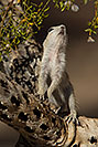 /images/133/2017-05-24-tucson-creatures-1x2_5451v.jpg - #13885: Round Tailed Ground Squirrels … May 2017 -- Tucson, Arizona