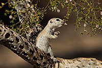 /images/133/2017-05-24-tucson-creatures-1x2_5455.jpg - #13886: Round Tailed Ground Squirrels … May 2017 -- Tucson, Arizona