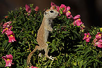 /images/133/2017-05-24-tucson-creatures-1x2_5504.jpg - #13887: Round Tailed Ground Squirrels … May 2017 -- Tucson, Arizona