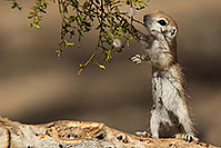 /images/133/2017-05-24-tucson-creatures-1x2_5557.jpg - #13892: Round Tailed Ground Squirrels … May 2017 -- Tucson, Arizona