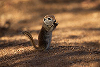 /images/133/2017-05-24-tucson-creatures-1x_46865.jpg - #13873: Round Tailed Ground Squirrels … May 2017 -- Tucson, Arizona