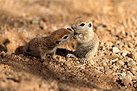 /images/133/2017-05-24-tucson-creatures-1x_46882.jpg - #13874: Round Tailed Ground Squirrels … May 2017 -- Tucson, Arizona
