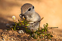 /images/133/2017-05-24-tucson-creatures-1x_46901.jpg - #13875: Round Tailed Ground Squirrels … May 2017 -- Tucson, Arizona