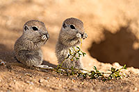 /images/133/2017-05-24-tucson-creatures-1x_46911.jpg - #13876: Round Tailed Ground Squirrels … May 2017 -- Tucson, Arizona