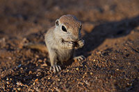 /images/133/2017-05-24-tucson-creatures-1x_47162.jpg - #13877: Round Tailed Ground Squirrels … May 2017 -- Tucson, Arizona