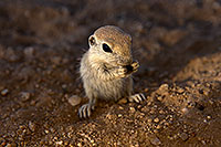 /images/133/2017-05-24-tucson-creatures-1x_47192.jpg - #13878: Round Tailed Ground Squirrels … May 2017 -- Tucson, Arizona