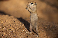 /images/133/2017-05-24-tucson-creatures-1x_47220.jpg - #13879: Round Tailed Ground Squirrel standing … May 2017 -- Tucson, Arizona