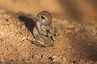 /images/133/2017-05-24-tucson-creatures-1x_47235.jpg - #13881: Round Tailed Ground Squirrels … May 2017 -- Tucson, Arizona