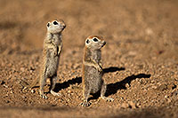 /images/133/2017-05-24-tucson-creatures-3-1x_46871.jpg - #13894: Round Tailed Ground Squirrels … May 2017 -- Tucson, Arizona