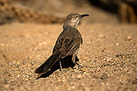 /images/133/2017-06-17-tucson-thrasher-1x_51739.jpg - #13898: Curved Bill Thrasher in Tucson … June 2017 -- Tucson, Arizona