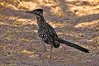 /images/133/2017-06-22-catalina-roadr-tz-1x_54232.jpg - #13904: Roadrunner in Santa Catalina Mountains … June 2017 -- Santa Catalina Mountains, Arizona