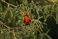 /images/133/2017-06-26-catalina-flycat-1x_55001.jpg - #13909: Vermillion Flycatcher in Santa Catalina Mountains … June 2017 -- Santa Catalina Mountains, Arizona