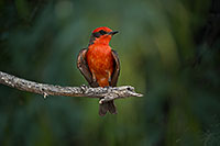 /images/133/2017-06-26-catalina-flycat-97-1x_54919.jpg - #13911: Vermillion Flycatcher in Santa Catalina Mountains … June 2017 -- Santa Catalina Mountains, Arizona