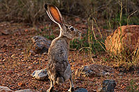/images/133/2017-09-09-gvalley-rabbit-mi100-a7r2_02182_16b.jpg - #14041: Jackrabbit in Green Valley, Arizona … September 2017 -- Green Valley, Arizona