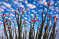 /images/133/2018-04-19-rita-morn-mi100-lq_0280.jpg - #14289: Ocotillo flowers in Green Valley, Arizona … April 2018 -- Green Valley, Arizona