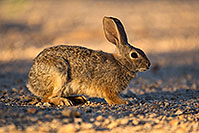 /images/133/2018-05-14-gv-cottontail-mi1-5d4_0156.jpg - #14310: Desert Cottontail in Green Valley, Arizona … May 2018 -- Green Valley, Arizona