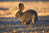 /images/133/2018-05-14-gv-cottontail-mi1-5d4_0160.jpg - #14311: Desert Cottontail in Green Valley, Arizona … May 2018 -- Green Valley, Arizona