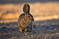 /images/133/2018-05-14-gv-cottontail-mi1-5d4_0168.jpg - #14312: Desert Cottontail in Green Valley, Arizona … May 2018 -- Green Valley, Arizona