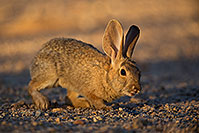 /images/133/2018-05-15-gv-bunnies-viv77-5d4_0615.jpg - #14313: Desert Cottontail in Green Valley, Arizona … May 2018 -- Green Valley, Arizona