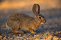 /images/133/2018-05-15-gv-bunnies-viv77-5d4_0632.jpg - #14314: Desert Cottontail in Green Valley, Arizona … May 2018 -- Green Valley, Arizona