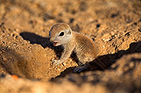 /images/133/2018-05-15-gv-creatures-viv77-5d4_0330.jpg - 14320: Baby Round Tailed Ground Squirrel … May 2018 -- Green Valley, Arizona