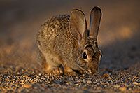 /images/133/2018-05-17-gv-cottontail-viv77-5d4_1710.jpg - #14323: Desert Cottontail in Green Valley … May 2018 -- Green Valley, Arizona