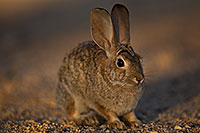 /images/133/2018-05-17-gv-cottontail-viv77-5d4_1718.jpg - #14324: Desert Cottontail in Green Valley … May 2018 -- Green Valley, Arizona