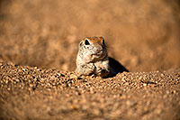 /images/133/2018-05-17-gv-creatures-viv50-5d4_0777.jpg - #14334: Relaxed Round Tailed Ground Squirrel … May 2018 -- Green Valley, Arizona