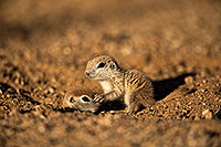 /images/133/2018-05-17-gv-creatures-viv50-5d4_1442.jpg - 14337: Baby Round Tailed Ground Squirrels playing … May 2018 -- Green Valley, Arizona