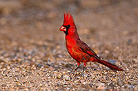 /images/133/2018-05-26-gv-cardinal-viv77-5d4_6324.jpg - #14404: Male Cardinal in Green Valley … May 2018 -- Green Valley, Arizona