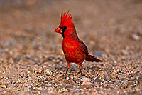 /images/133/2018-05-26-gv-cardinal-viv77-5d4_6338.jpg - #14405: Male Cardinal in Green Valley … May 2018 -- Green Valley, Arizona