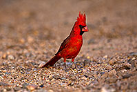 /images/133/2018-05-26-gv-cardinal-viv77-5d4_6387.jpg - #14406: Male Cardinal in Green Valley … May 2018 -- Green Valley, Arizona