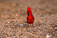 /images/133/2018-05-26-gv-cardinal-viv77-5d4_6407.jpg - #14407: Male Cardinal in Green Valley … May 2018 -- Green Valley, Arizona