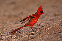 /images/133/2018-05-26-gv-cardinal-viv77-5d4_6434.jpg - #14408: Male Cardinal in Green Valley … May 2018 -- Green Valley, Arizona