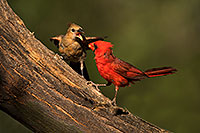 /images/133/2018-06-03-gv-cardinals-viv50-5d4_8211.jpg - #14448: Cardinal male feeding female baby in Green Valley … June 2018 -- Green Valley, Arizona